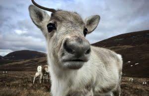 Reindeer Cairngorms National Park