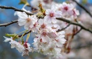 Scottish springtime blossom - get out to nature